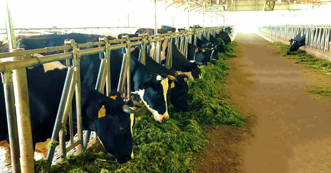 Trang trại bò sữa Ba Vì